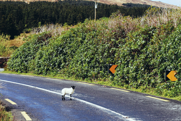 Jahr des Schafes Irland