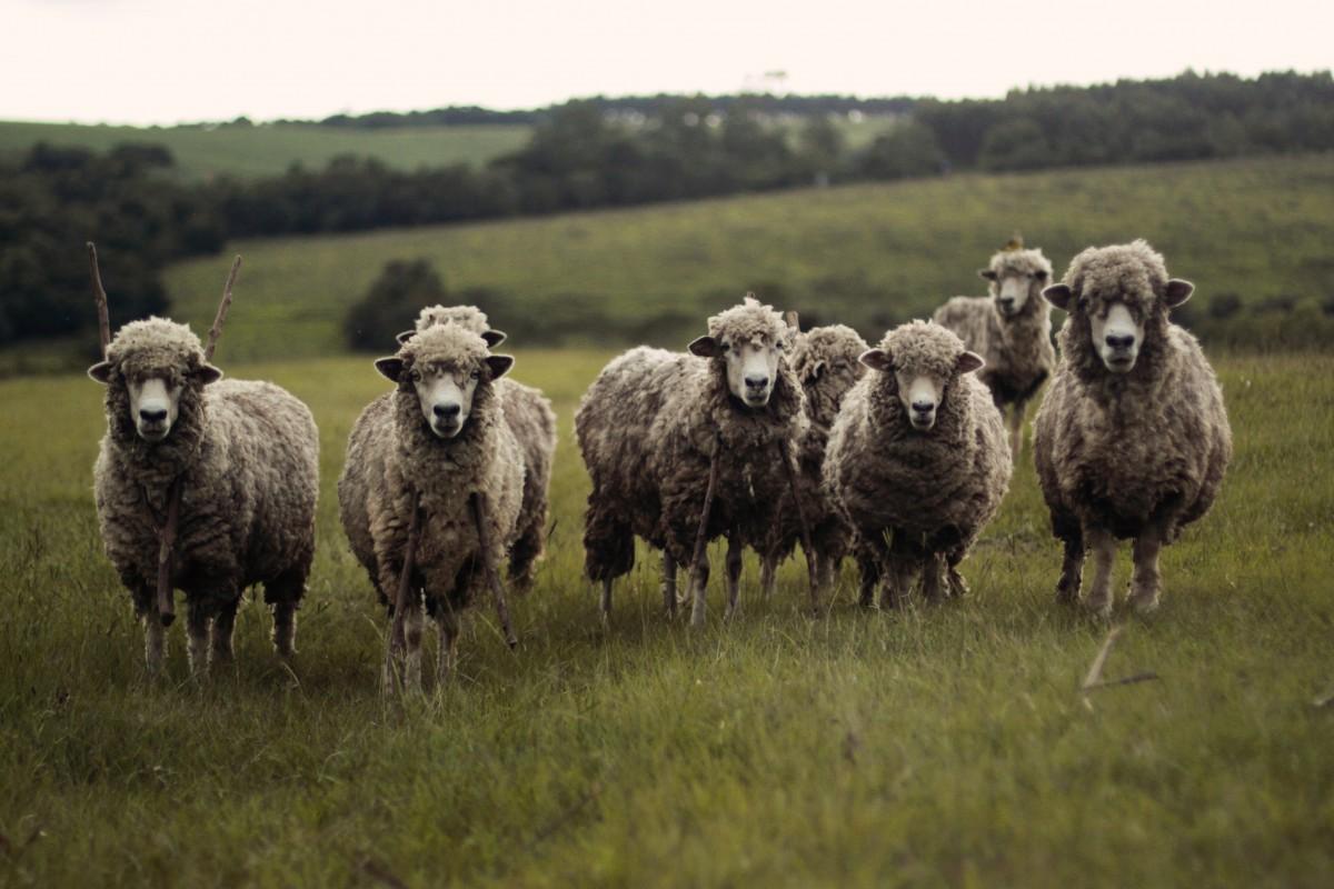Jahr des Schafes 2015